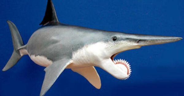 Rhina ancylostoma guitar fish Fossil comparative specimen shark tooth