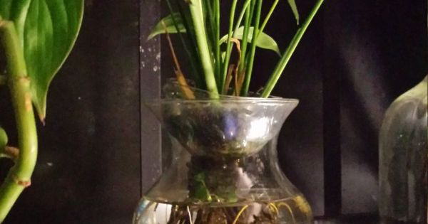 Beta fish tank with live peace lily symbiotic kit want for Peace lily betta fish