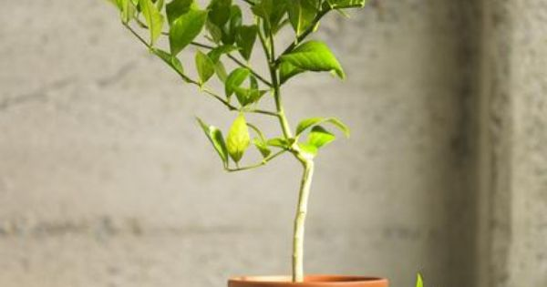 Image Result For Growing Citrus Trees Indoors As Houseplants