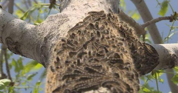 Strong winds slow tent caterpillars spray program City of Regina