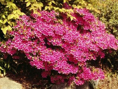 Small Slow Growing Shrubs Ehow Flowering Bushes Growing Shrubs Flowering Shrubs