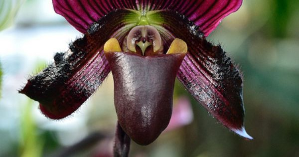 Paphiopedilum is a genus of the Lady slipper orchid subfamily Cypripedioideae of