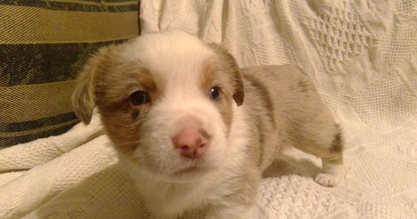 Litter Of 6 Aussie Corgi Puppies For Sale In Hopkinton Ia Adn