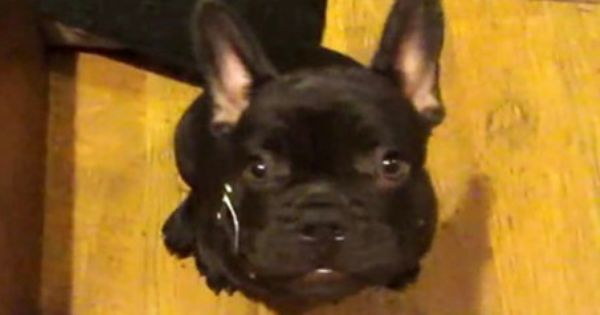 French Bulldog Puppy Arguing Over Bedtime Is Everything Bulldog