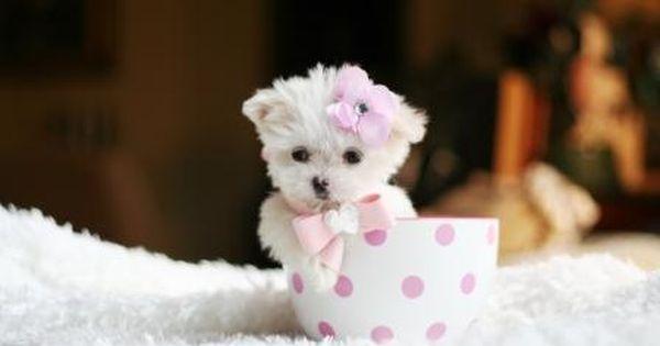 Teacup Maltese Please David Animales Bebe Bonitos Perros Y