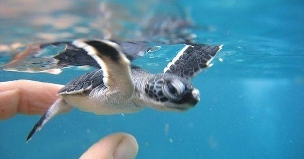 赤ちゃんウミガメ かわいい動物の赤ちゃん 亀の赤ちゃん Pinterest