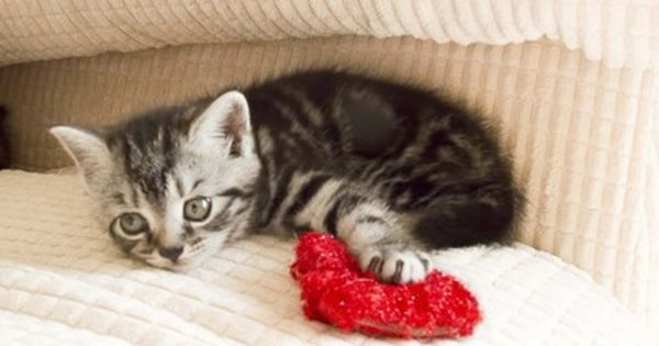 Tunning British Shorthaired Silver Tabby Kittens For Sale Silver Tabby Kitten Tabby Cat Tabby Kitten