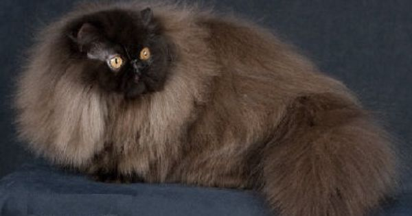 Black Persian cat Pictures | Animals | Pinterest | Persian ...