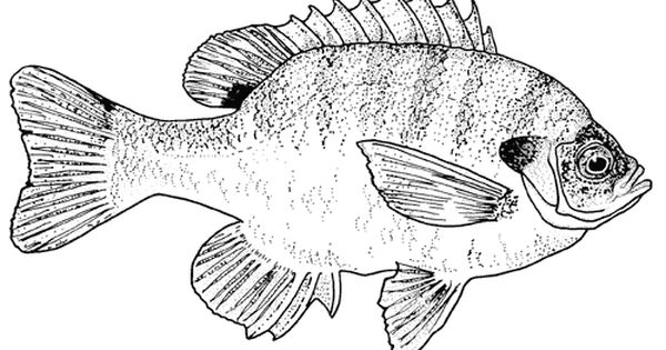 Http Dailycoloringpages Com Images Texas Bluegill Fish Coloring
