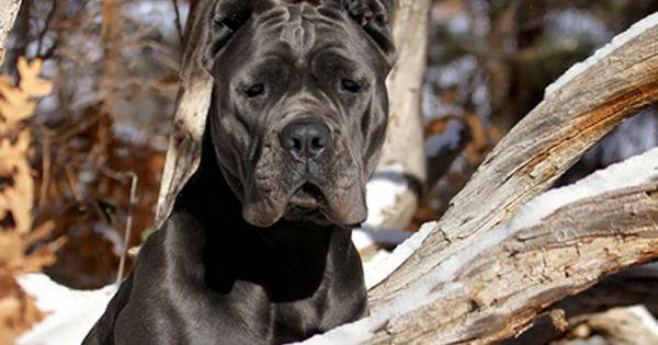 Silver Gch Italica S Elisir D Amore Numero Nove Ca Cane Corso Corso Dog