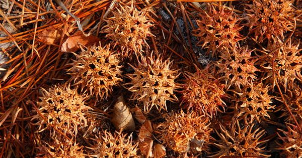 Sweet Gum Balls Vase Filler Banishing Cleansing Protection Wiccan Pagan Altar Witches Bur Liquidambar Styraciflua 40pck Rustic Holiday Decor Sweet Gum Vase Fillers Pagan Altar