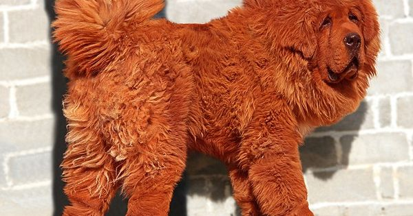 Red Tibetanmastiff , World's most expensive dog Want one !!