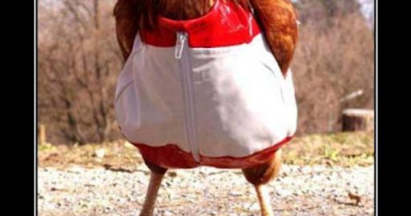 why don't chickens wear pants? because their peckers are ...