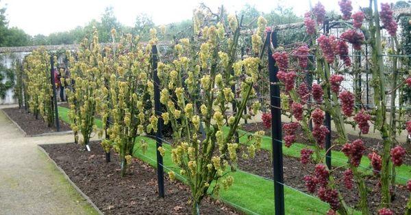 Palissage pour vigne en ventail avec poteau en corni re - Desherbant naturel puissant ...
