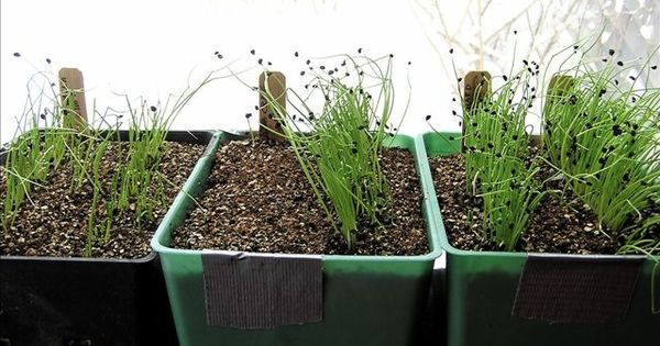 Eager to start some seedlings onions need a lot of time for Indoor gardening onions