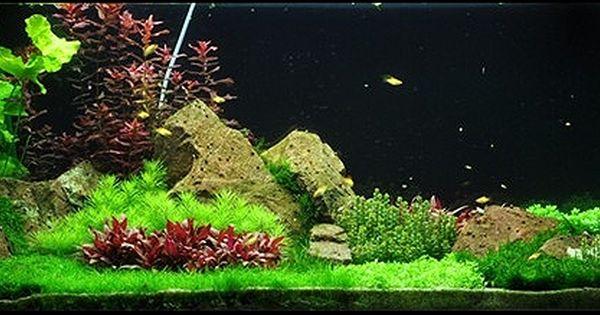 Easy Carpeting Aquarium Plants Micranthemum Sp Montecarlo Called New Large Pearl Grass Fish Pond Gardens Planted Aquarium Indoor Water Garden