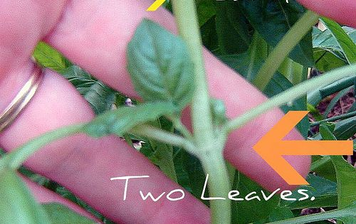 For my sister and hubby: my two green thumbs! How to prune