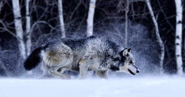 Giant Timber Wolf Wolves And Foxes Pinterest Timber