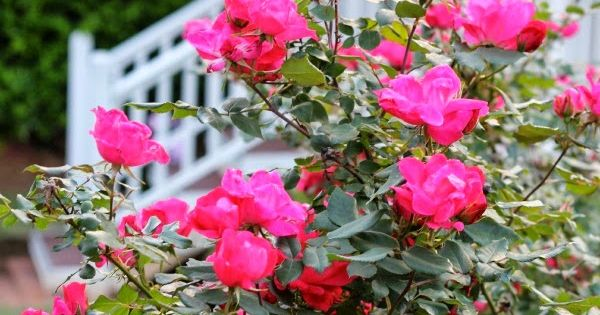 Roses In Garden: Knockout Roses Will Bloom All Summer Which Makes Them One