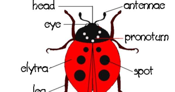 Ladybug Diagram With Images Ladybugs Preschool Ladybug