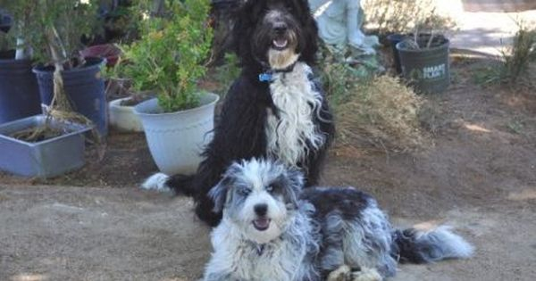 Dogs Breed Australian Shepherd Poodle Mix Gender Male Age