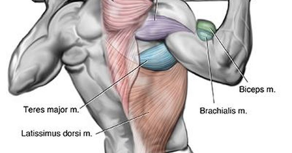 teres major location .. back muscle that is activated by pull ups, Human body