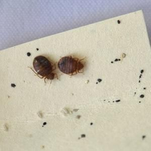 Two Adult Bed Bugs In A Petri Dish Photo Credit Kim Jung Bed