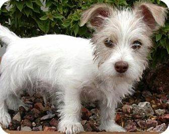 Baby Mini Wirehaired Fox Terrier Cross Maltese Wirehaired Fox