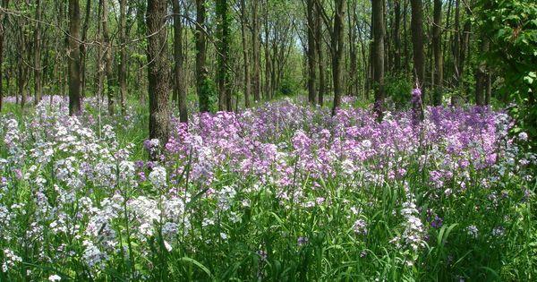 Illinois Wildflowers | Wildflowers | Pinterest | Trees, Sweet and ...