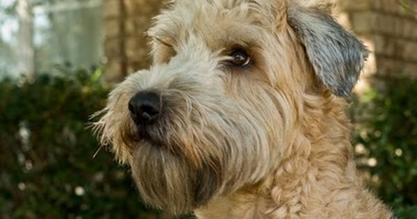 Adopt Menace On In 2020 With Images Terrier Mix Dog Adoption