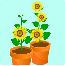 Grow A Sunflower In Pot Potted Sunflowers Planting