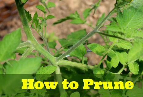 How to prune tomatoes for the best harvest ever. Love these tips