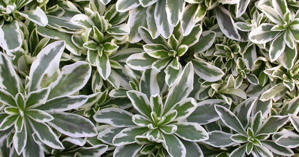 Evergreen drought tolerant ground cover foliage deer for Drought tolerant ground cover full sun