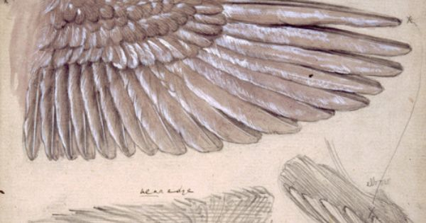 Edward Burne Jones, Drawing of Wings scientific illustration