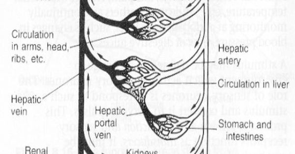 circulatory system diagram worksheet