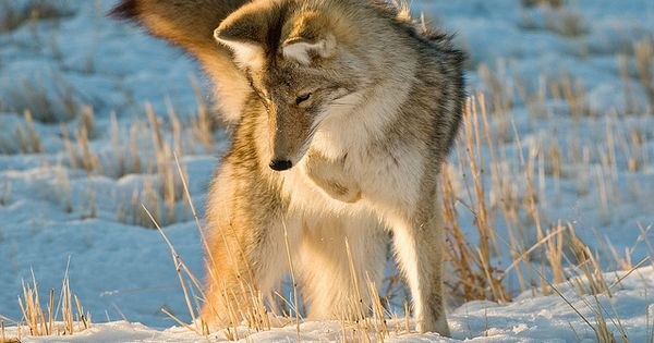 Coyotes, Teaching and Names on Pinterest