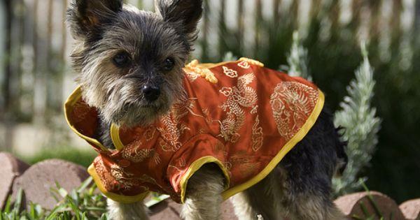Kimono Yorkie Yorkie Cute Dogs Cute Pictures