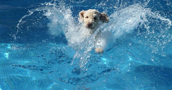 Spanish Water Dog Jumping And Diving In A Swimming Pool Pinned By Barkingstud