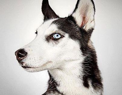 Pictures Of Harris A Siberian Husky For Adoption In New York Ny Who Needs A Loving Home Siberian Husky Husky Black German Shepherd Dog