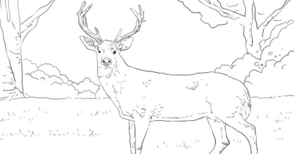 Whitetail Deer Coloring Page Super Coloring Deer Coloring Pages Animal Coloring Pages Whitetail Deer