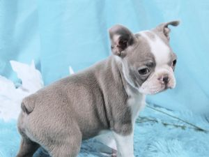 Boston Terrier Puppies For Sale Akc Blue Champagne Boston