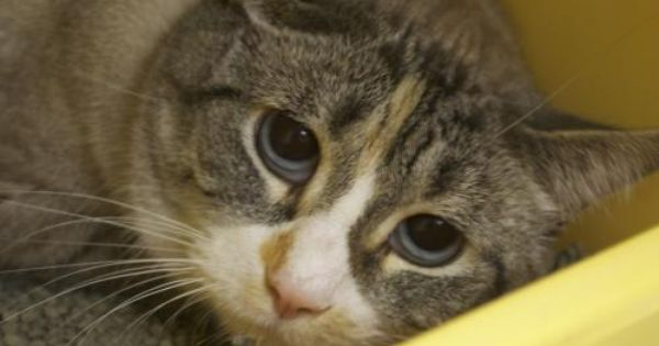 Adopt Pebbles On Petfinder Cat Adoption Cats Cat Rescue