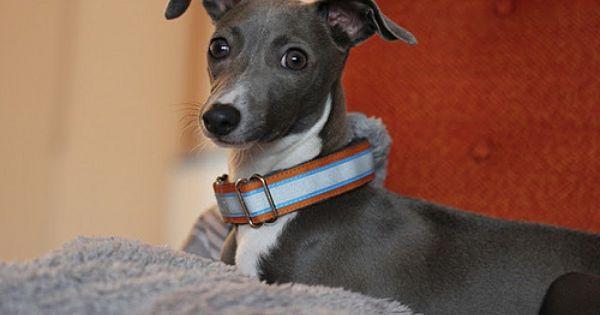 Congratulations Minnow Martingale Dog Collar Italian Greyhound Dog Breeds
