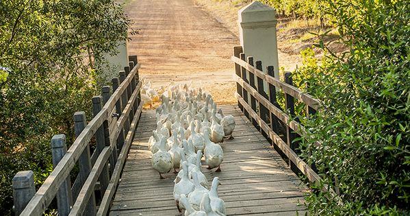 Ducks crossing a footbridge. Orderly and so cute!