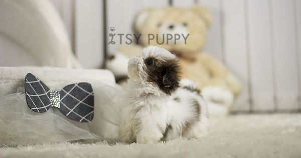 Honey Female Teacup Shih Tzu Available Itsy Puppy Teacup And