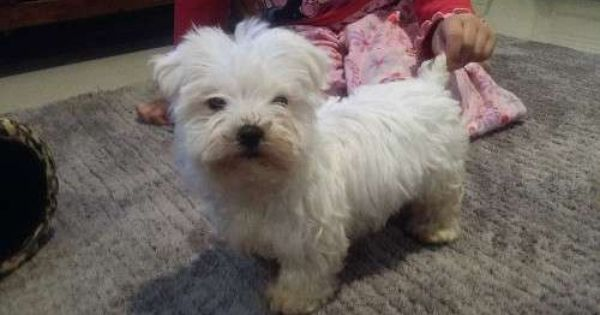 Cute And Cuddly Maltese Male Is Currently 8wks Old Both Parents Are Pure White Maltese He Has Been Worme Maltese Puppy Dog Breeds Maltese Puppies For Sale