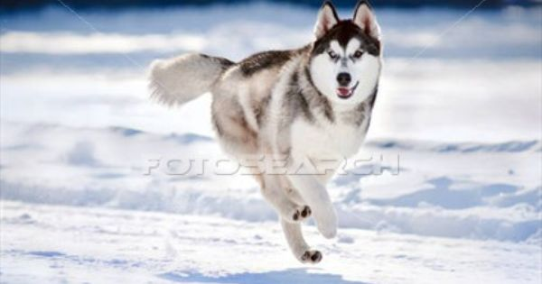 Cute Dog Hasky Running In Winter Stock Image Husky Puppy