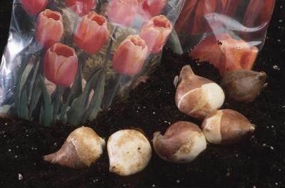 How To Store Tulip Bulbs For Fall Planting Tulip Bulbs Growing Tulips Tulips
