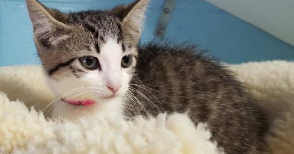 Trisha Is A 10 Week Old Female Grey White Brown Tabby Kitten She Was Found At The Pnc Bank In Prattville All By H Tabby Kitten Cats And Kittens Cat Adoption