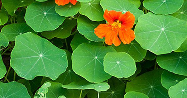 Multitalent kapuzinerkresse dekorativ lecker gesund und for Zimmerpflanzen dekorativ